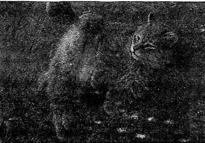 Крылатая кошка